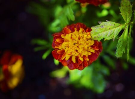 Yellow and orange flowering marigold captured with shallow depth of field and blurred background. Intentionally soft image to give a painterly look.