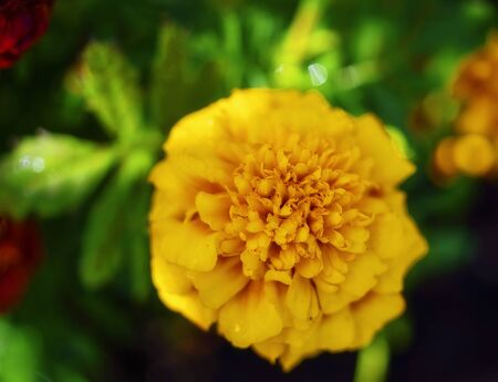 Yellow flowering marigold captured with shallow depth of field and blurred background. Intentionally soft image to give a painterly look.