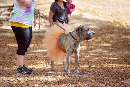 A large dog dressed in an orange skirt to take part in a fun run in an outdoor public park