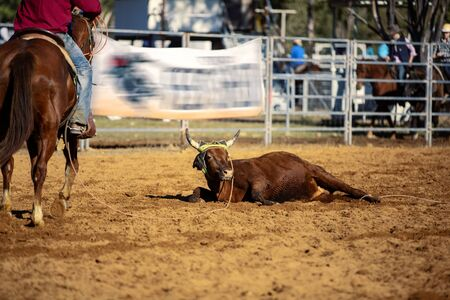 Rodeo - calf roping a young animal around head and legs by cowboys on horseback - a sanctioned sport and the calf is not hurt Stock Photo