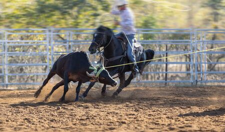 Rodeo - calf roping a young animal by cowboys on horseback - action sport - a sanctioned sport and the calf is not hurt Stock Photo