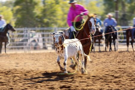 Rodeo - calf roping a young animal by cowboys on horseback - sanctioned Australian action sport and the calf is not hurt