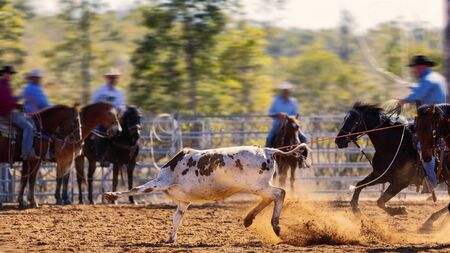 Rodéo - veau encordant un jeune animal par des cow-boys à cheval - sport d'action australien sanctionné et le veau n'est pas blessé
