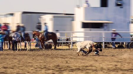 Rodeo - calf roping tie-down of a young animal by cowboys on horseback - sanctioned Australian action sport and the calf is not hurt