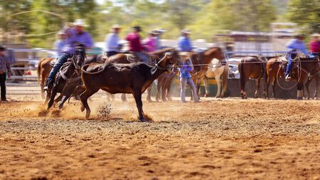 Rodeo - calf roping a young animal by cowboys on horseback - a sanctioned action sport and the calf is not hurt Banque d'images