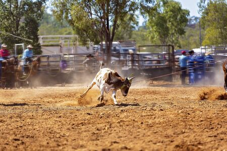 Rodeo - calf roping a young animal by cowboys on horseback - a sanctioned action sport and the calf is not hurt