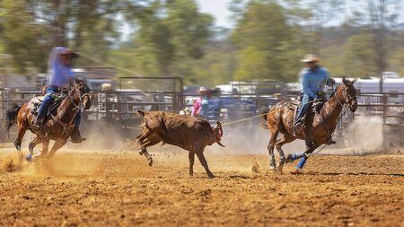 Rodéo - veau d'équipe encordant un jeune animal par des cow-boys à cheval - un sport d'action sanctionné et le veau n'est pas blessé Banque d'images