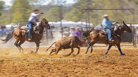 Rodéo - veau d'équipe encordant un jeune animal par des cow-boys à cheval - un sport d'action sanctionné et le veau n'est pas blessé