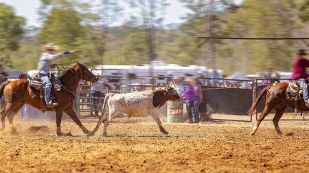 Rodeo - team calf roping a young animal by cowboys on horseback - a sanctioned action sport and the calf is not hurt