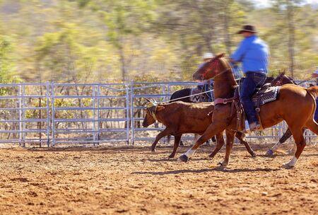 Rodéo - veau roping un jeune animal par des cow-boys à cheval - un sport d'action sanctionné et le veau n'est pas blessé Banque d'images