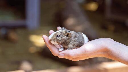 Ein süßes kleines Meerschweinchen sitzt ruhig in einer Hand