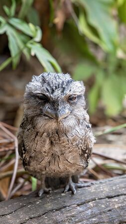 Close-up of a cute tawny frogmouth sitting in the sun