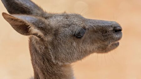 Shallow depth of field in close up, isolating the Australian kangaroo's eye and lashes to enhance the connection with the animal