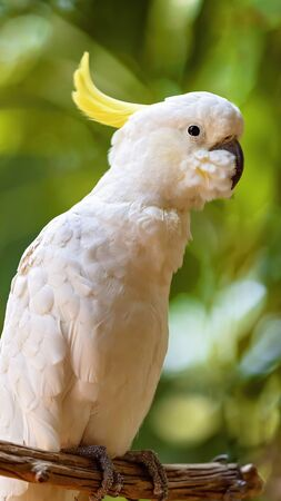 Close up of the sulphur-crested white cockatoo, a common bird in Australia