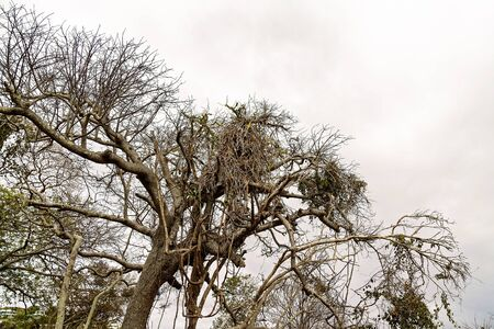 An old dead tree with dragon fruit vines entwined in the branches Reklamní fotografie