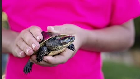 A tiny creek turtle caught in mangroves, being held in a childs hands before being released back into the wild