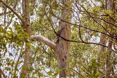 An Australian koala bear sitting in a tree in its natural bushland habitat Reklamní fotografie