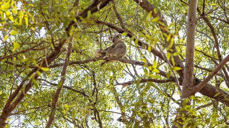 A female Australian koala bear sitting in a tree with her joey in their natural bushland habitat Reklamní fotografie