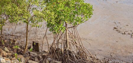 Swamp trees growing in a muddy riverbed Stock Photo