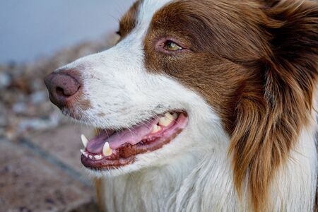 Close up of the face of a domesticated border collie dog with his mouth open
