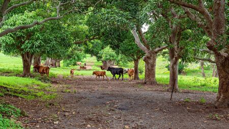 Cattle grazing in a field shaded by rows of trees with the grass lush and green following rainfall Imagens