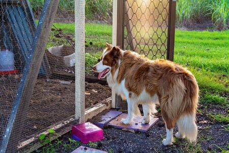 A border collie dog stands at the open entrance to a chicken run in late afternoon light Stockfoto