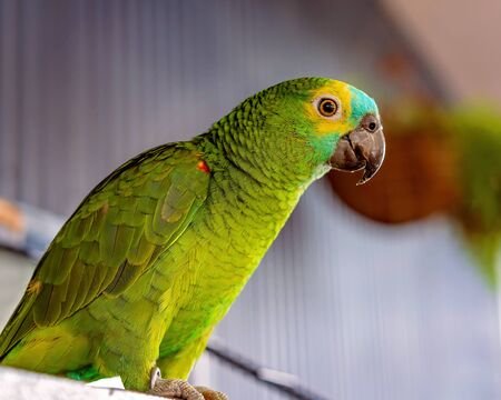 Close up of a Turquoise-fronted Amazon Parrot on a perch