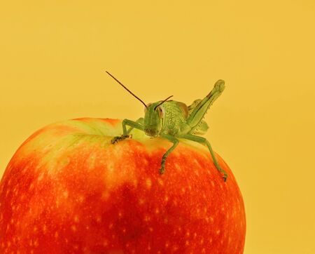 A green grasshopper sitting on a red apple against an orange background
