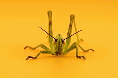 A green grasshopper crouching ready to leap, isolated on an orange background