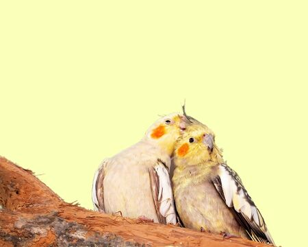 A pair of grey and yellow cocaktiels with orange cheek patches snuggling together on a branch