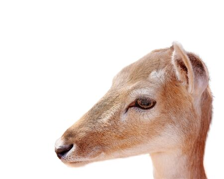 Close up of the face of a young female fallow deer (doe), isolated on a white background