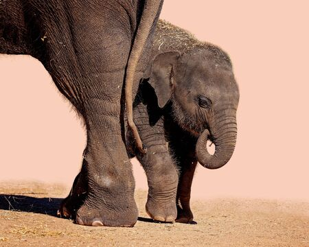 A baby elephant hiding behind its mothers hind legs, isolated on a plain background
