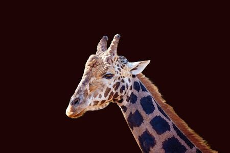 Close up of a male giraffe isolated on a dark background Imagens