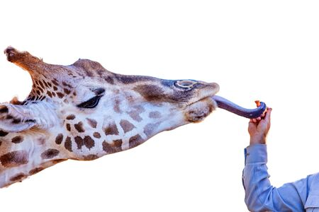A giraffe reaching for a carrot with its tongue, isolated on a white background