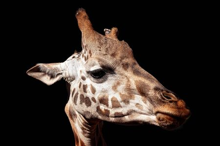 Tallest living terrestrial animal and largest ruminants are the distinctively patterned giraffe. Isolated on a black background.