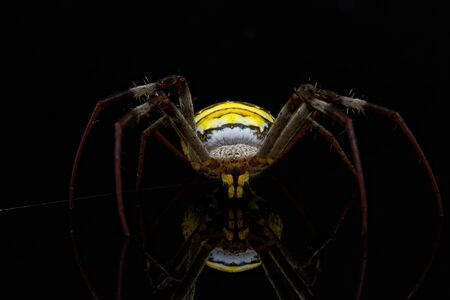 Macro close up of a yellow backed garden spider isolated on a black background