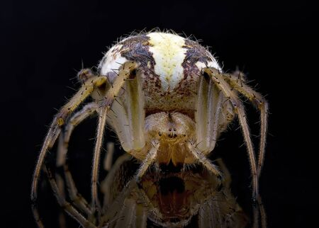 Macro close up of a leaf curling spider isolated on a black background macro photography Imagens
