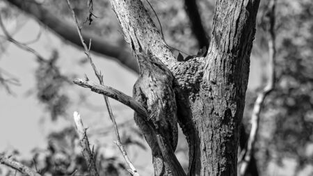 A tawny frogmouth owl camouflaged amongst the tree branches in a forest - monotone