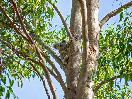 An Australian koala sitting on the branch of a tree in his native environment, the eucalyptus forest