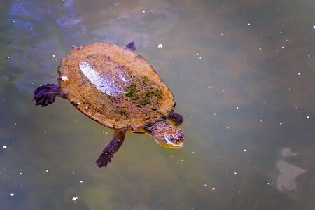A small freshwater turtle covered in algae swimming in murky water