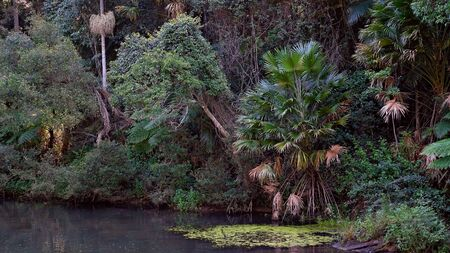 Ferns and plants on a creek bank in native bushland in a tropical rainforest