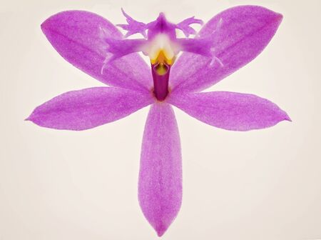Close up of a pink purple orchid in bloom isolated on a white background