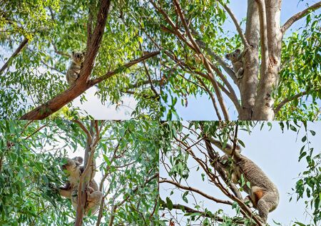 Collage of Australian koalas in their natural habitat at Whites Hill Reserve Brisbane, one mother with a joey in her pouch