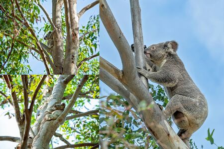 Collage of Australian koalas in their natural habitat at Whites Hill Reserve Brisbane, main image a mother with joey in her pouch