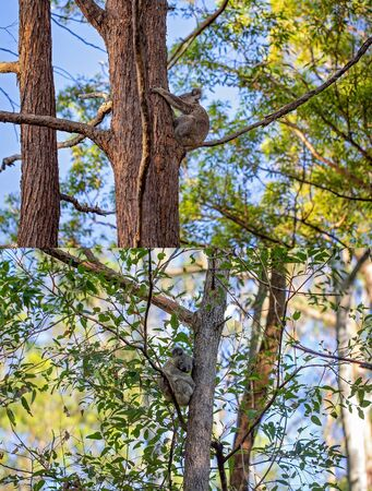 Collage of Australian koalas in their natural habitat at Whites Hill Reserve Brisbane Imagens