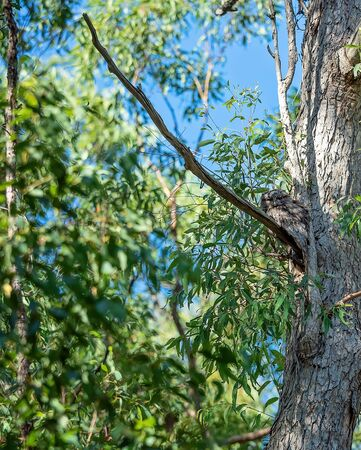 Tawny Frogmouth Camoflaged In A Gum Tree