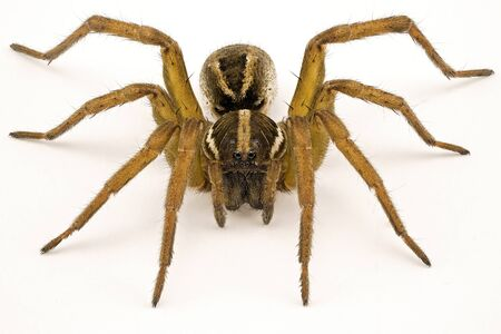 Close up of a wolf spider isolated on a white background to show all the details