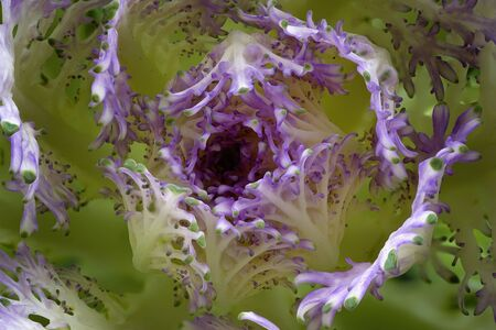 Close up of the curly lavender center of ornamental kale