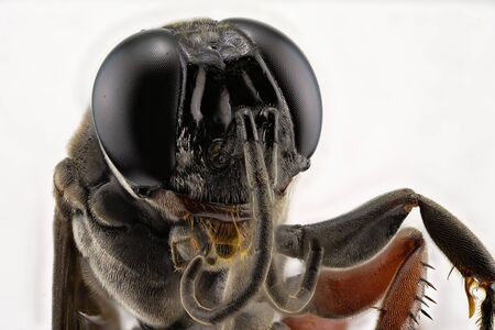 Extreme macro five times magnification of the head of a black wasp insect against a white background Imagens