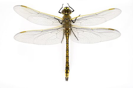 Top down view in macro of a dragonfly isolated against a white background Imagens